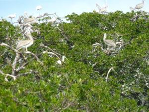 Pelikaner i Mangroven